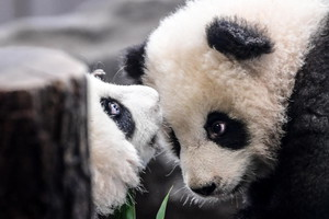Berlin Zoo twin panda cubs first public outing (ANSA)